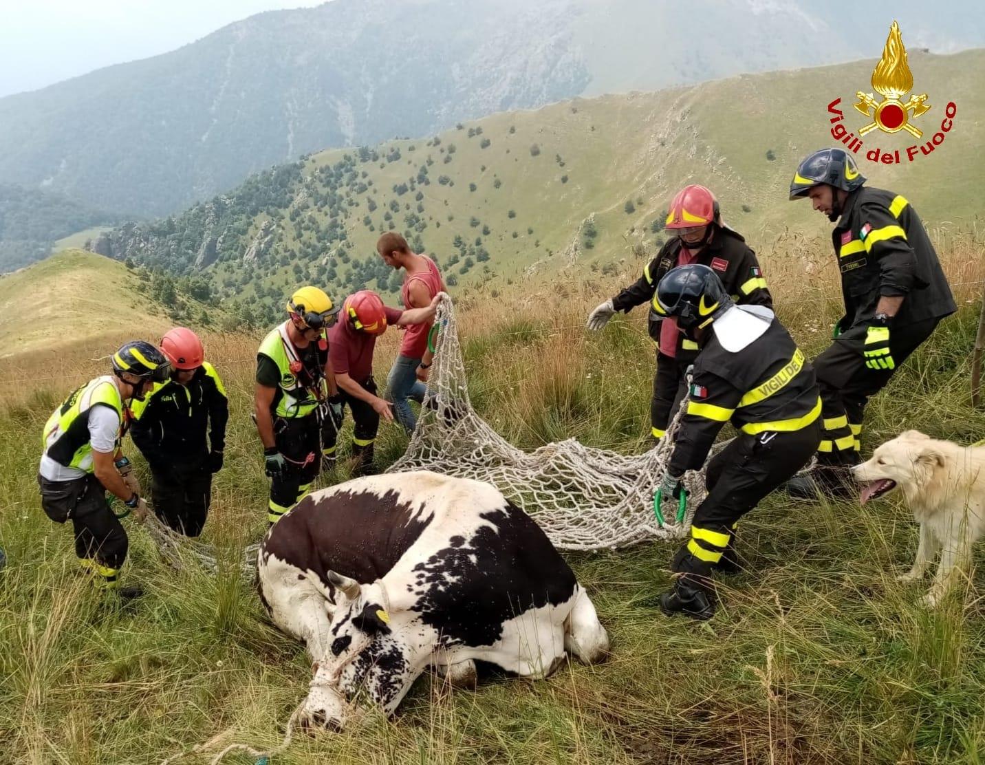 Condove: Soccorsa mucca ferita in alta quota dai Vigili del Fuoco!